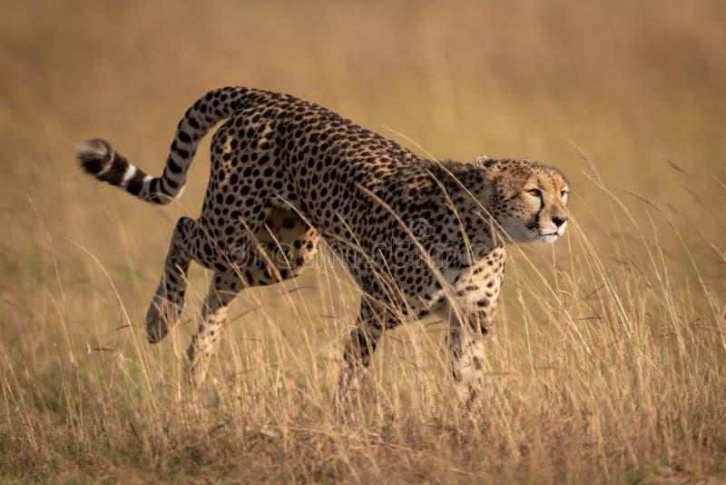 Chita que limita através da grama longa no savana imagem de stock royalty free