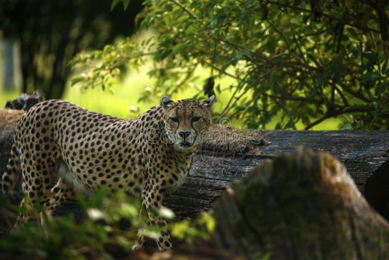 Chita régia o animal o mais rápido no mundo imagens de stock royalty free