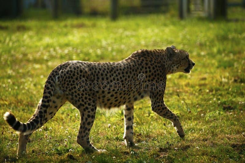 Chita régia o animal o mais rápido no mundo fotografia de stock royalty free