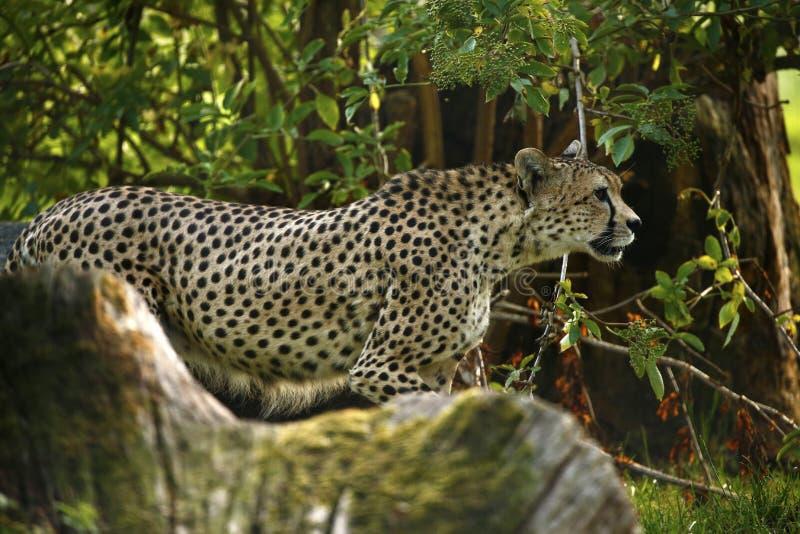 Chita régia o animal o mais rápido no mundo na floresta fotografia de stock