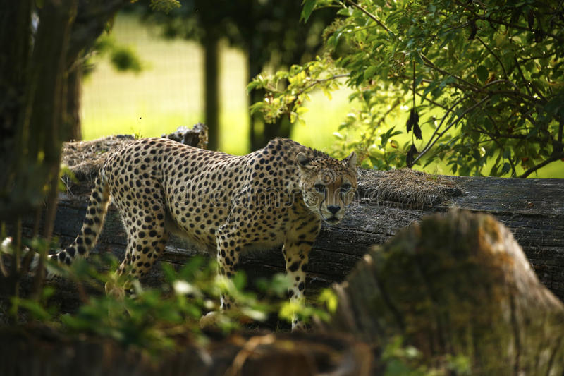 Chita régia o animal o mais rápido no mundo na floresta fotografia de stock royalty free