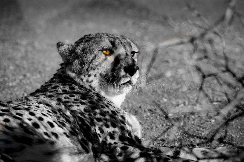 Chita selvagem em Namíbia imagens de stock