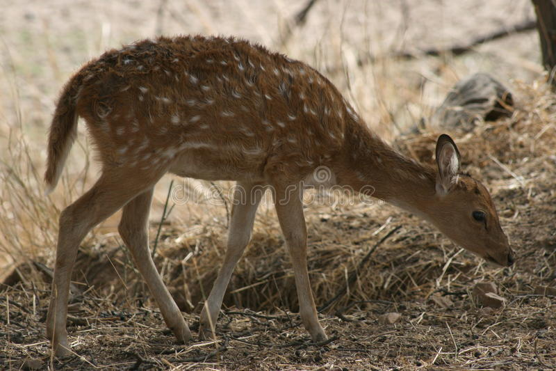 chital小鹿印度国家公园ranthambhore 库存照片
