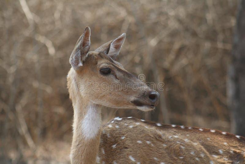 chital母鹿 免版税库存图片