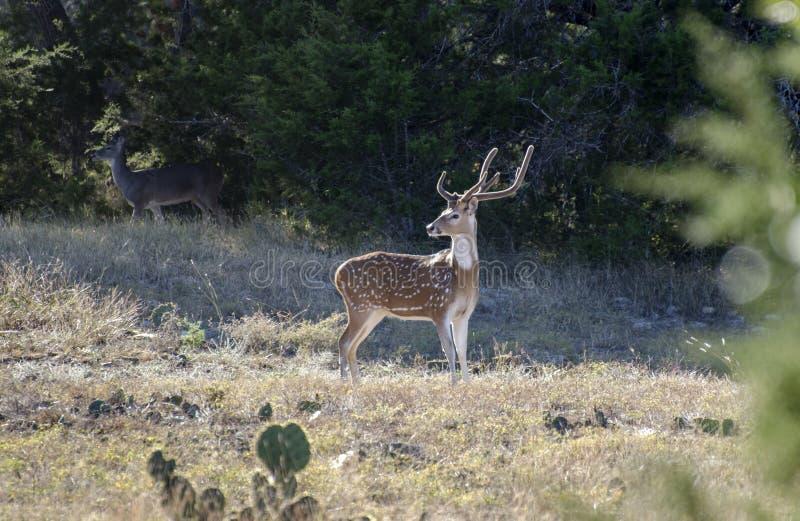Chital轴鹿,漂流木头得克萨斯 免版税库存照片