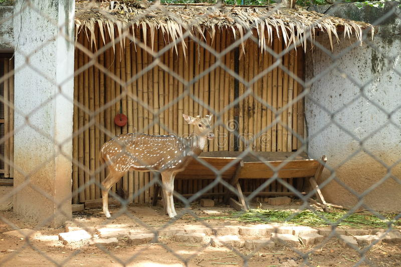 Chital au zoo photographie stock libre de droits