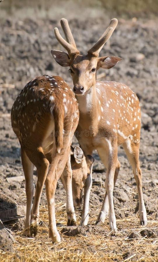 Chital of Bevlekte Deers royalty-vrije stock foto's