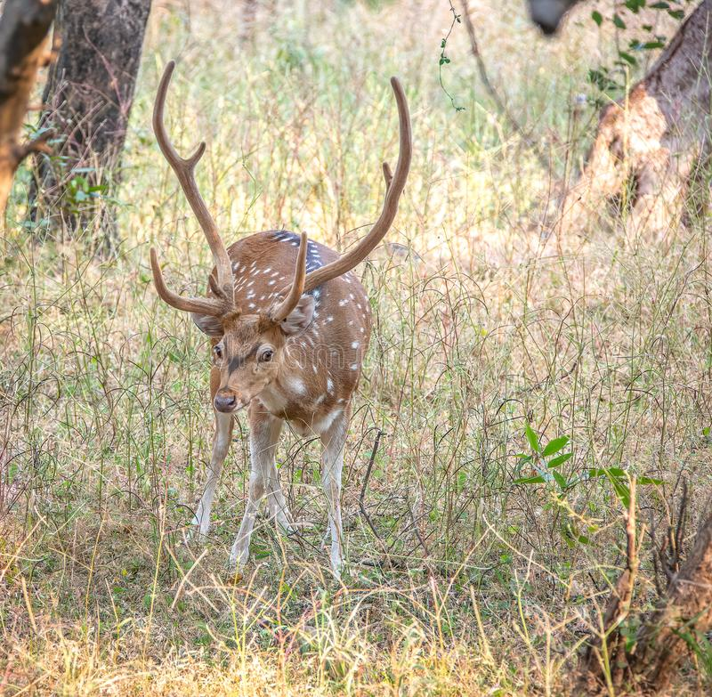 A Spotted Chital Deer buck in Ranthambore National Park in India. The chital or cheetal, also known as spotted deer or axis deer, is a species of deer that is stock photography