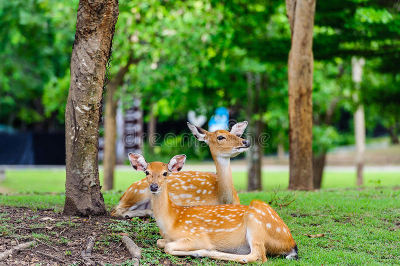 Download Chital Deer , Spotted Deer , Axis Deer On Raining Day Royalty Free Stock Photo - Image: 33248645