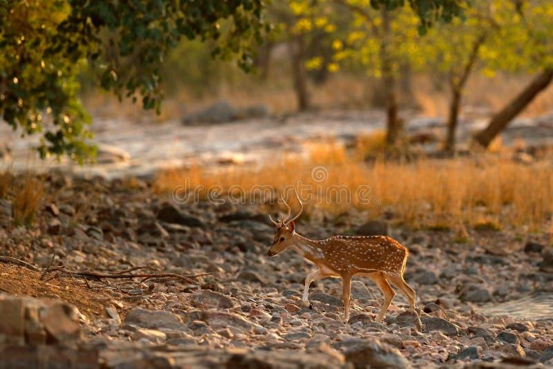 Chital o asse di asse e cheetal, cervi macchiati o cervi di asse, habitat della natura Muggisca l'animale adulto potente maestoso immagine stock