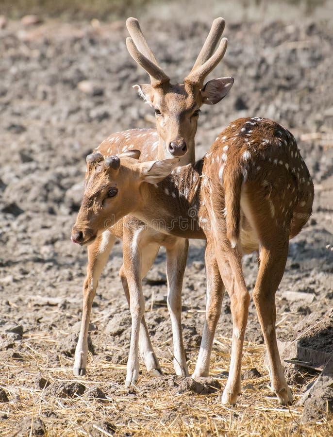 Chital ou cerfs communs repérés avec des andouillers de velours photographie stock