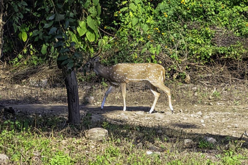 Chital ou cheetal, igualmente sabido como os cervos manchados ou os cervos da linha central fêmeas na estrada em Jim Corbett Nati imagem de stock