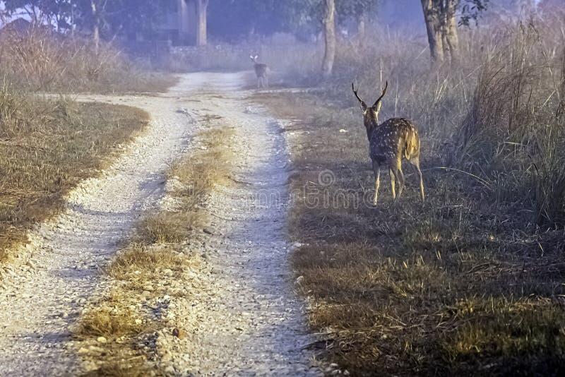 Chital ou cheetal novo, igualmente sabido como o homem manchado dos cervos ou dos cervos da linha central que anda na manhã nevoe fotos de stock royalty free