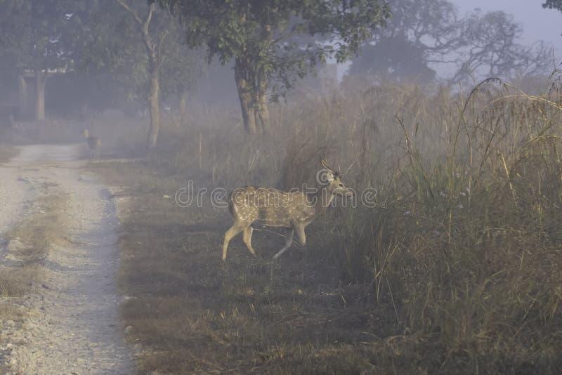 Chital ou cheetal novo, igualmente sabido como o homem manchado dos cervos ou dos cervos da linha central que anda na manhã nevoe imagens de stock royalty free