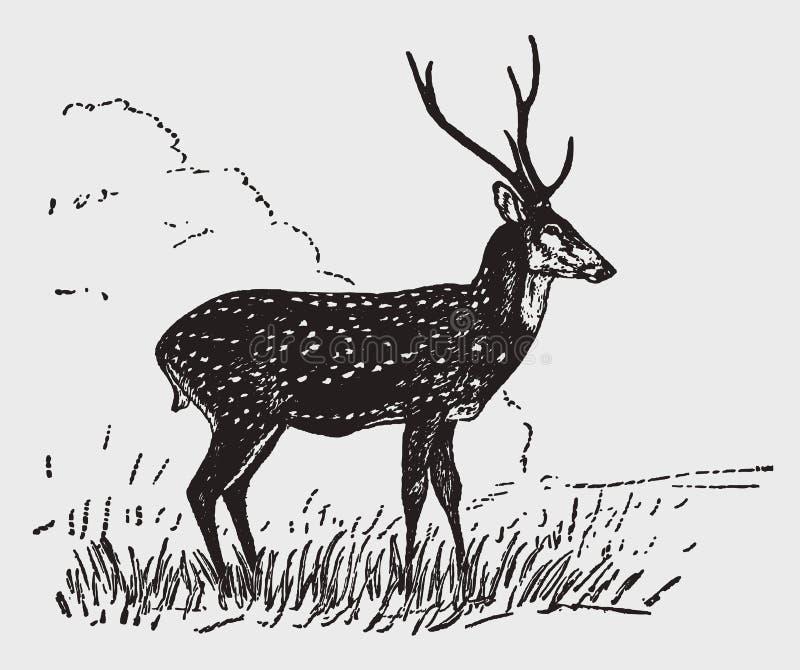 Chital ou position de mâle d'axe de cerfs communs d'axe dans un paysage illustration stock