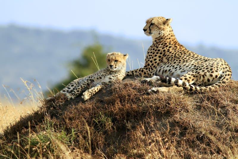 Chitas de Mara do Masai fotografia de stock