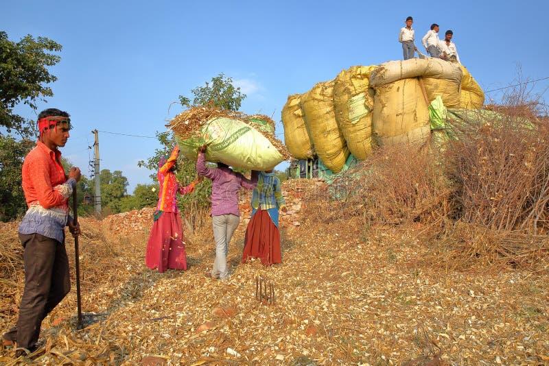 CHITTORGARH, РАДЖАСТХАН, ИНДИЯ - 13-ОЕ ДЕКАБРЯ 2017: Фермеры нагружая stover мозоли на тележке в сельской местности вокруг Chitto стоковое фото rf