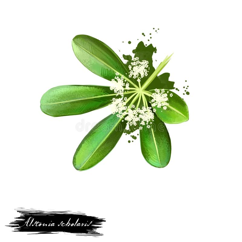 Chitvan - Alstonia scholaris ayurvedic Kraut, Blume digitale Kunstillustration mit dem Text lokalisiert auf Weiß Gesunder organis lizenzfreie abbildung