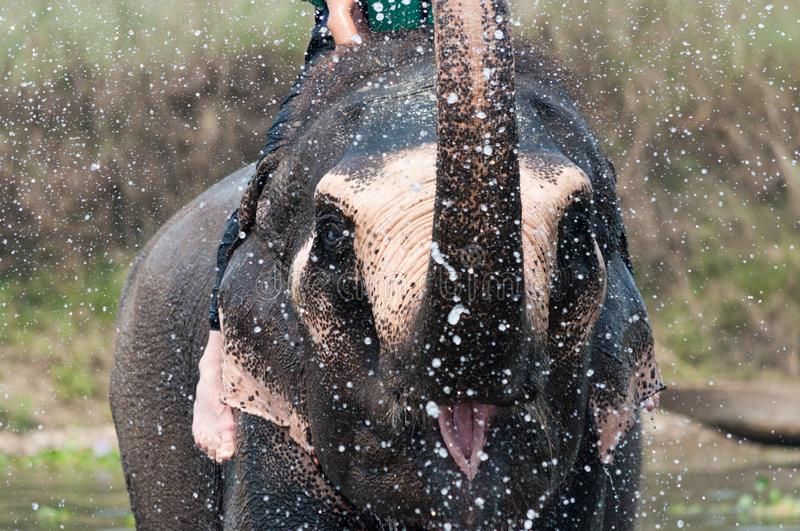 Closeup portrait of elephant playing with water royalty free stock images
