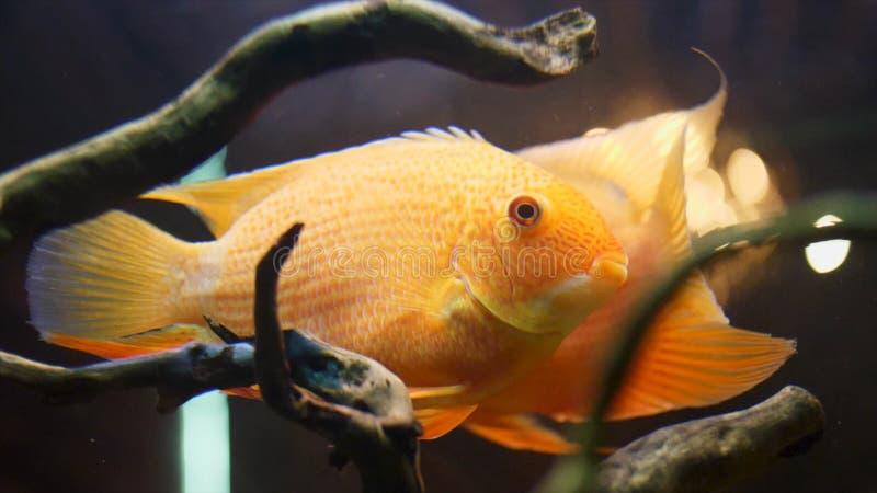 Chiuda lentamente su per lo swimmimg variopinto del pesce rosso in una cassa d'acqua di vetro con le piante e le alghe Pagina Pes immagine stock libera da diritti