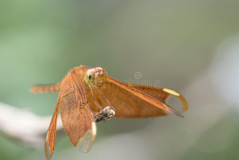 Chiuda su caduta della libellula su di legno Macro immagine stock