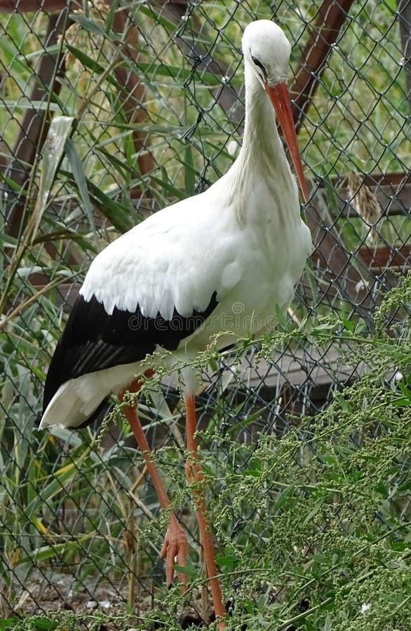 Chiuda su con il profilo della cicogna con il becco arancio fotografie stock