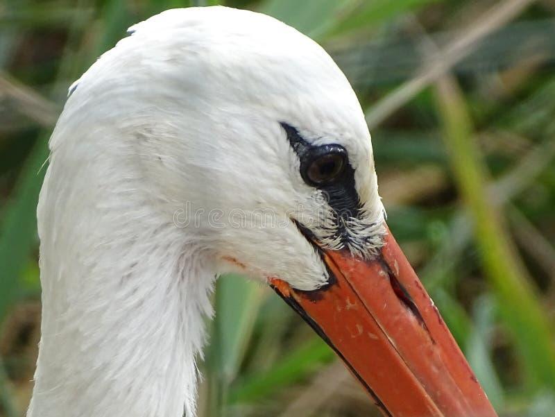 Chiuda su con il profilo della cicogna con il becco arancio fotografie stock libere da diritti