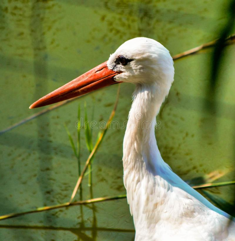 Chiuda su con il profilo della cicogna con il becco arancio fotografia stock