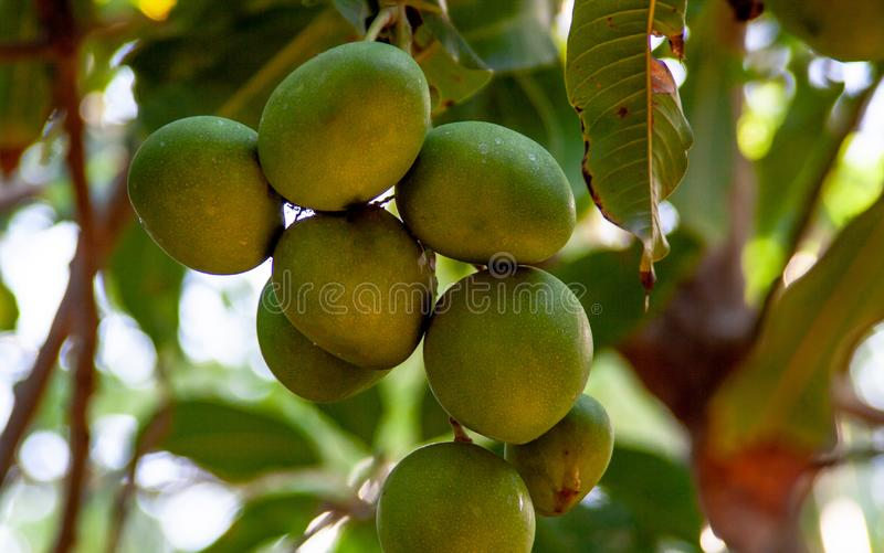 Chiuda su dall'albero di mango esotico immagine stock