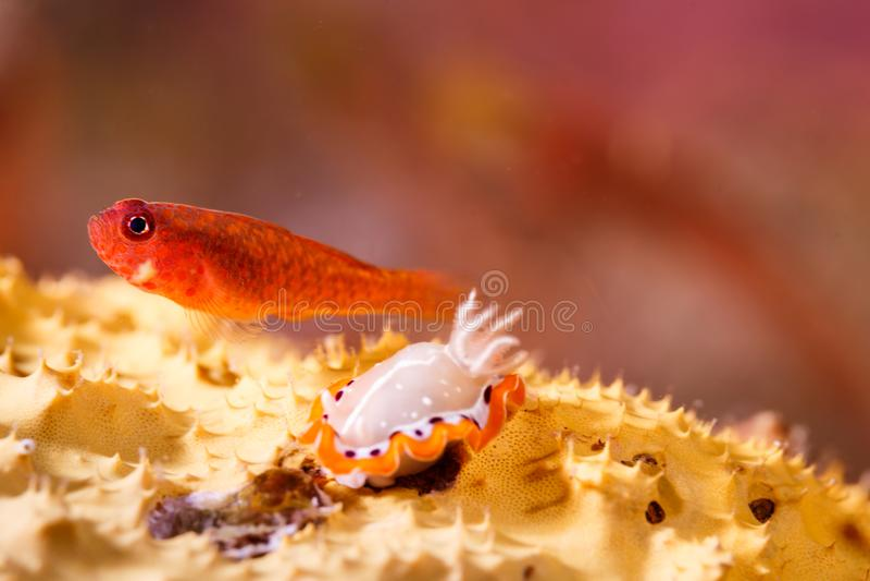Chiuda su degli avannotti e del nudibranch arancio su corallo fotografia stock libera da diritti