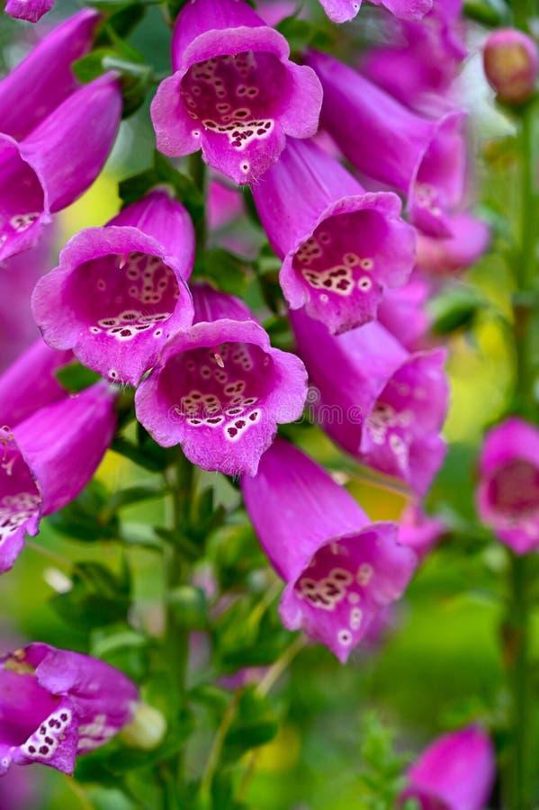 Chiuda su dei fingerflowers porpora in un'aiola immagine stock