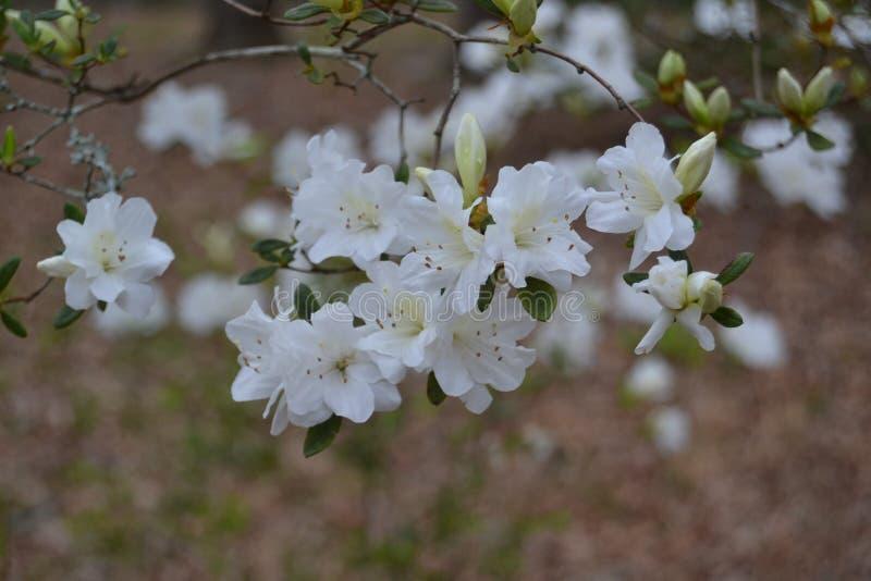 Chiuda su dei fiori bianchi della molla immagini stock