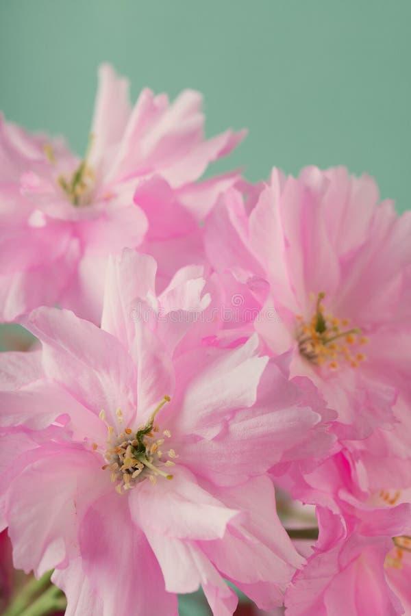 Chiuda su dei fiori del bossom della ciliegia della molla immagini stock libere da diritti