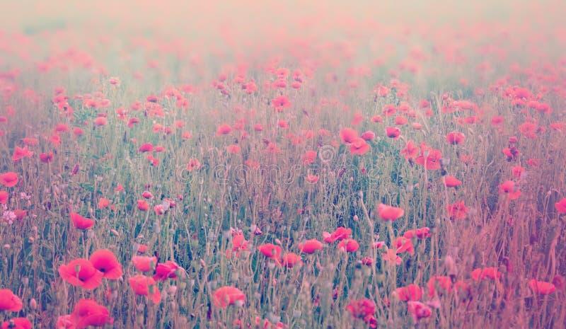 Chiuda su dei fiori del papavero Fuoco molle del campo del papavero Tonnellata pastello fotografia stock
