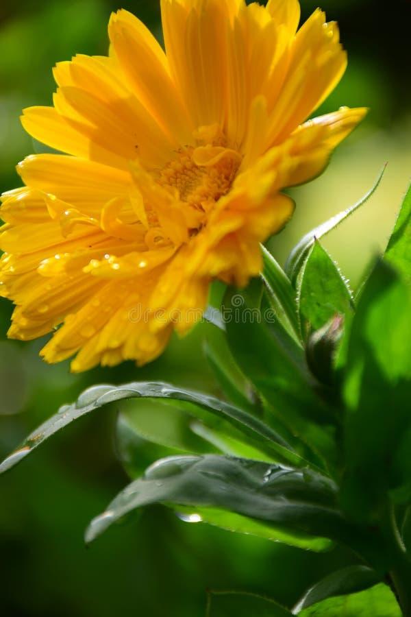 Chiuda su dei fiori della calendula di calendula officinalis nel giardino su Sunny Day da Maria Rutkovska fotografie stock