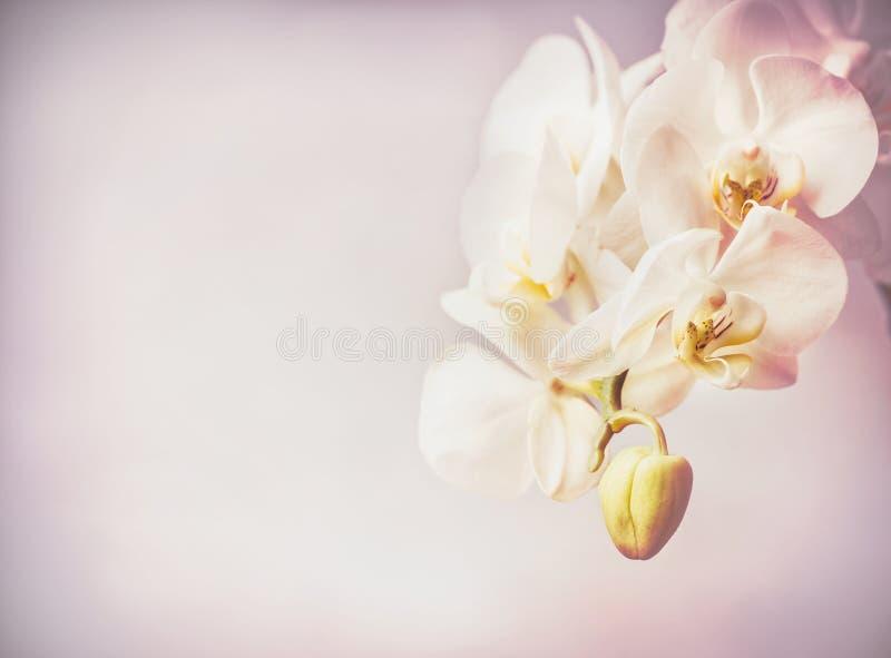 Chiuda su dei fiori delle orchidee a fondo pallido porpora immagini stock
