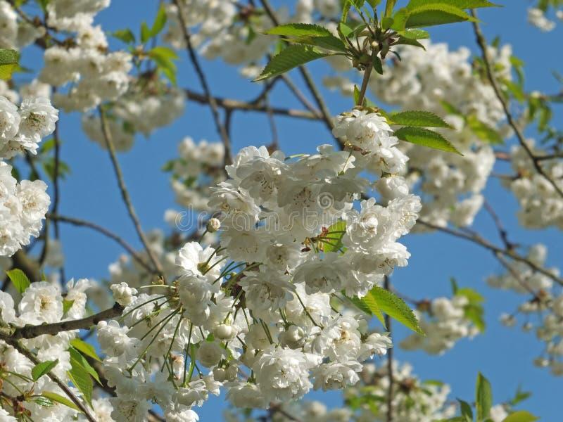Chiuda su dei fiori di ciliegia bianchi luminosi ad aprile con le nuove foglie verde intenso ed il cielo blu della molla fotografia stock