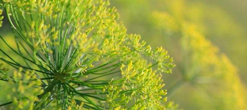 Chiuda su dei fiori di fioritura dell'aneto fotografie stock
