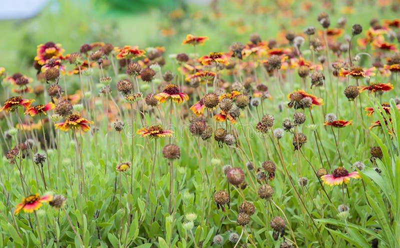 Chiuda su dei fiori di Gaillardia fotografia stock libera da diritti