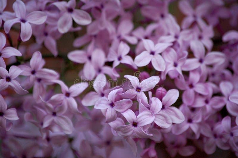 Chiuda in su dei fiori lilla immagine stock