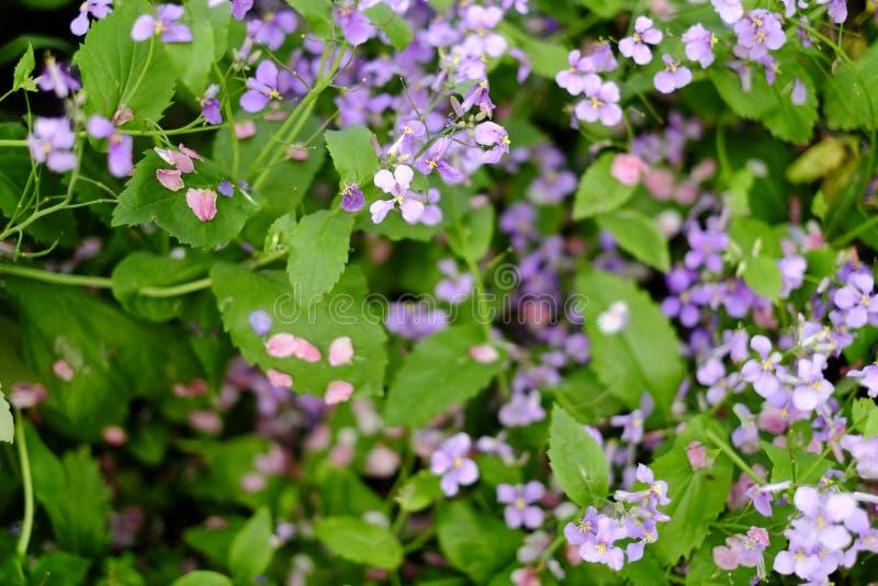 Chiuda su dei fiori porpora fotografia stock libera da diritti