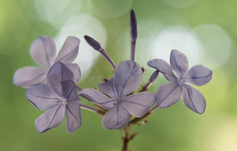 Chiuda su dei fiori selvaggi delicati lilla con fondo verde vago fotografie stock libere da diritti