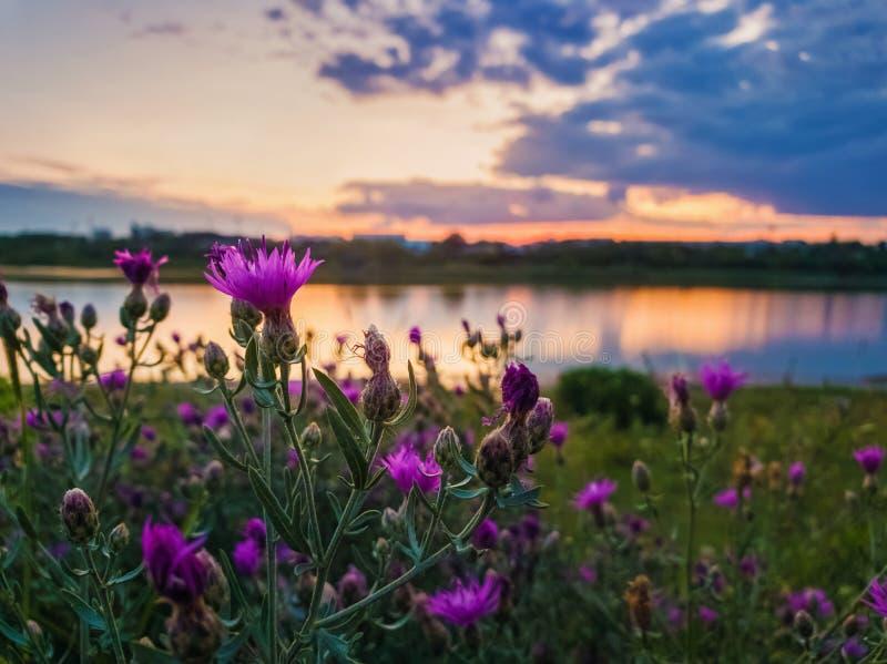 Chiuda su dei fiori selvaggi e porpora dell'arbusto che fioriscono nel prato vicino al lago sopra il fondo del tramonto in una se fotografia stock