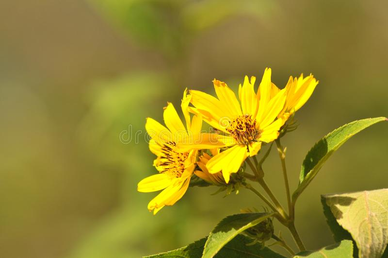 Chiuda su dei fiori selvaggi gialli fotografia stock