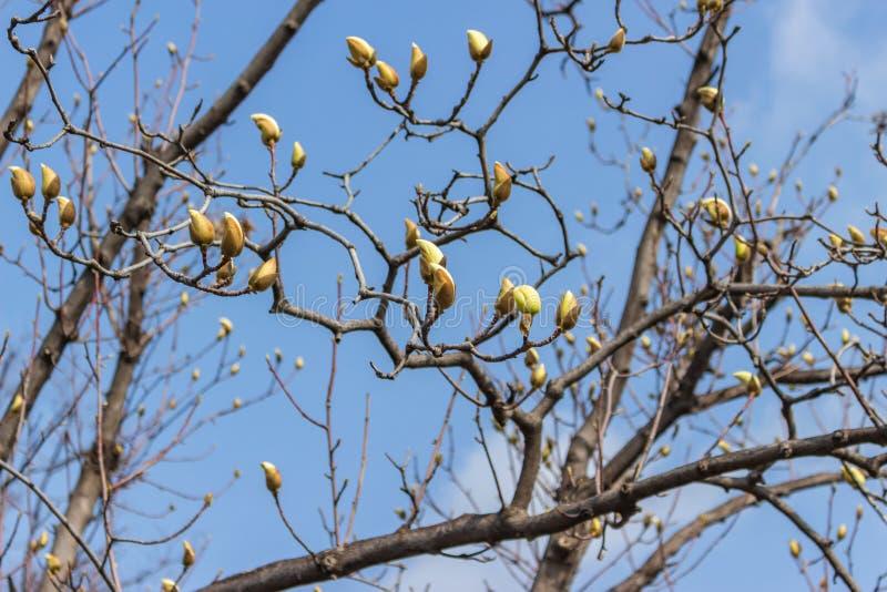 Chiuda su dei germogli della magnolia fotografia stock libera da diritti