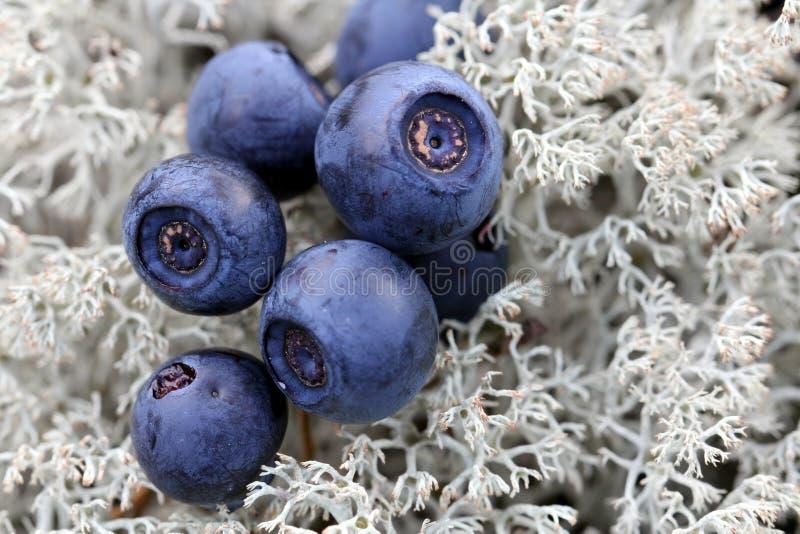 Chiuda in su dei mirtilli sul lichene di Cladonia fotografia stock libera da diritti