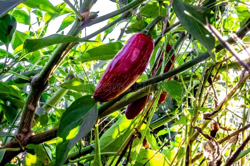 Chiuda su dei peperoni rossi di jalepeno che crescono su una pianta da una a bassa fotografie stock