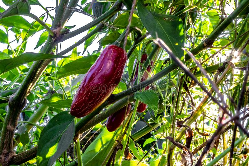 Chiuda su dei peperoni rossi di jalepeno che crescono su una pianta da una a bassa immagine stock libera da diritti