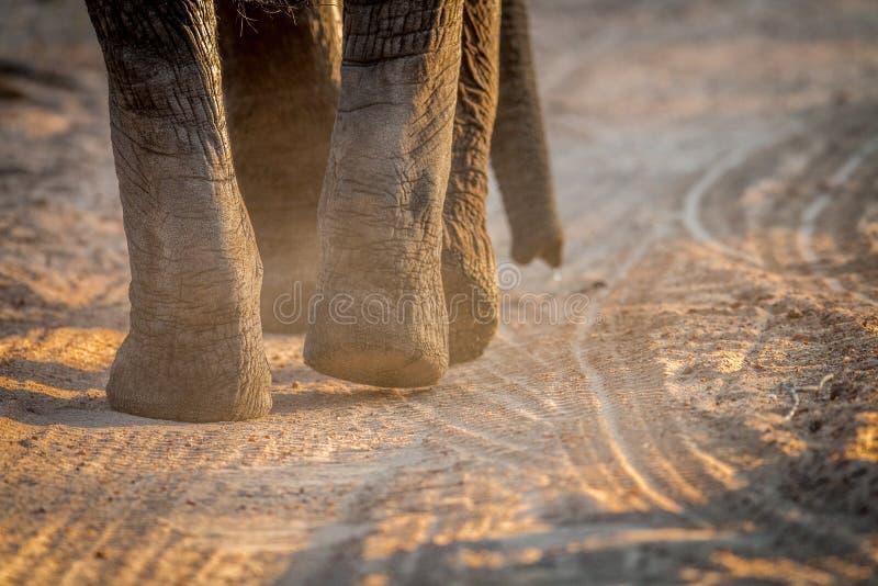 Chiuda su dei piedi dell'elefante nel Kruger immagini stock libere da diritti