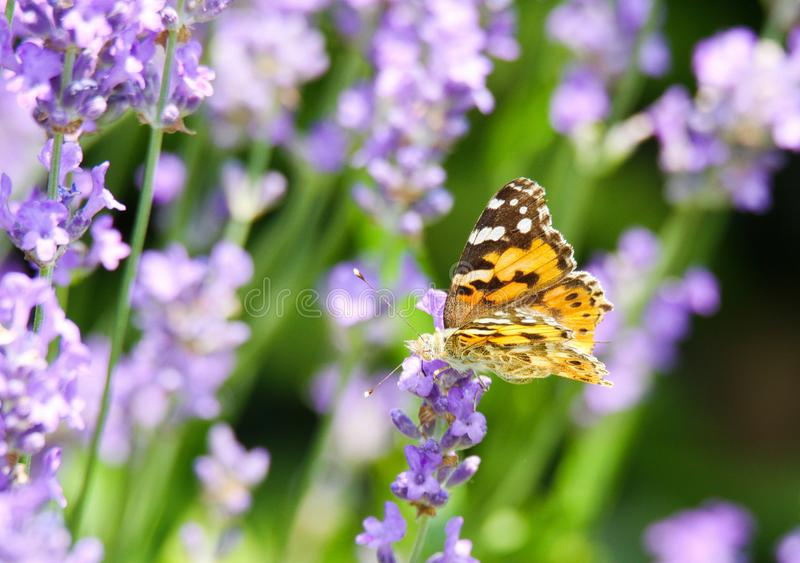 Chiuda su dei polychloros arancio e neri del Nymphalis della farfalla sul fiore lilla della lavanda con fondo verde vago fotografia stock